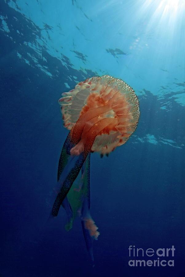 Patterned Luminescent Jellyfish Photograph