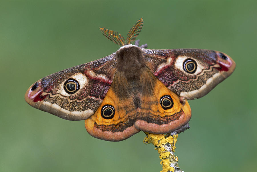 Pavonia Emperor Moth Photograph By Thomas Marent