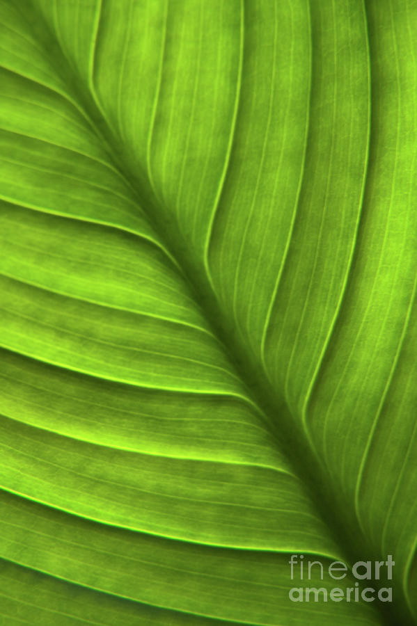 Peace Lily Leaf Photograph  - Peace Lily Leaf Fine Art Print