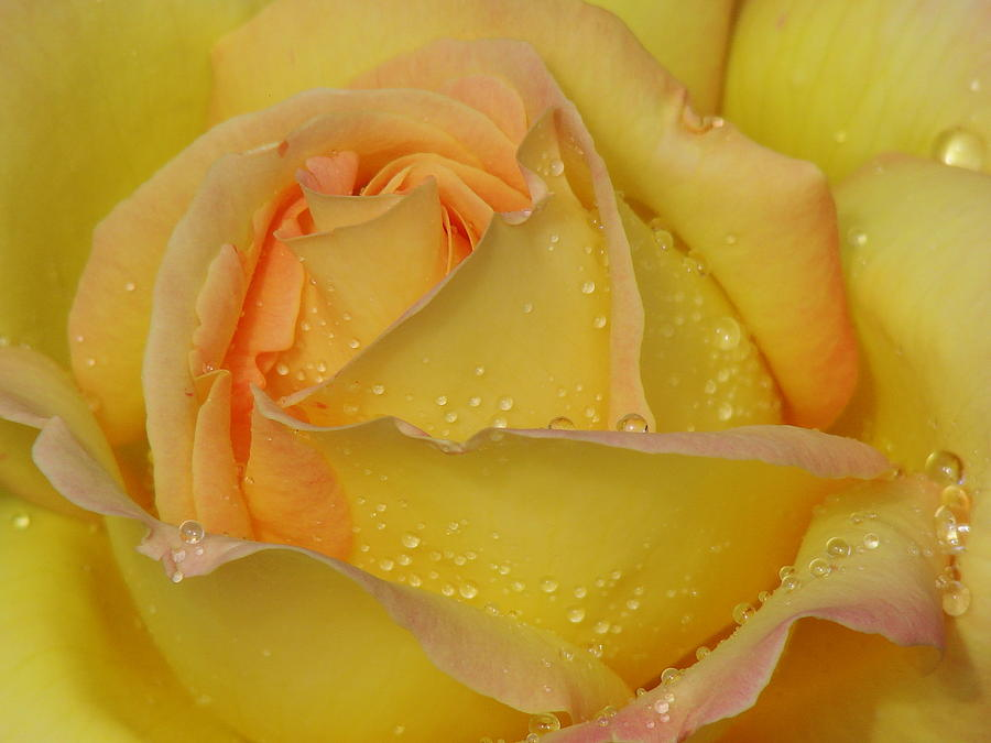 Peace Rose Photograph