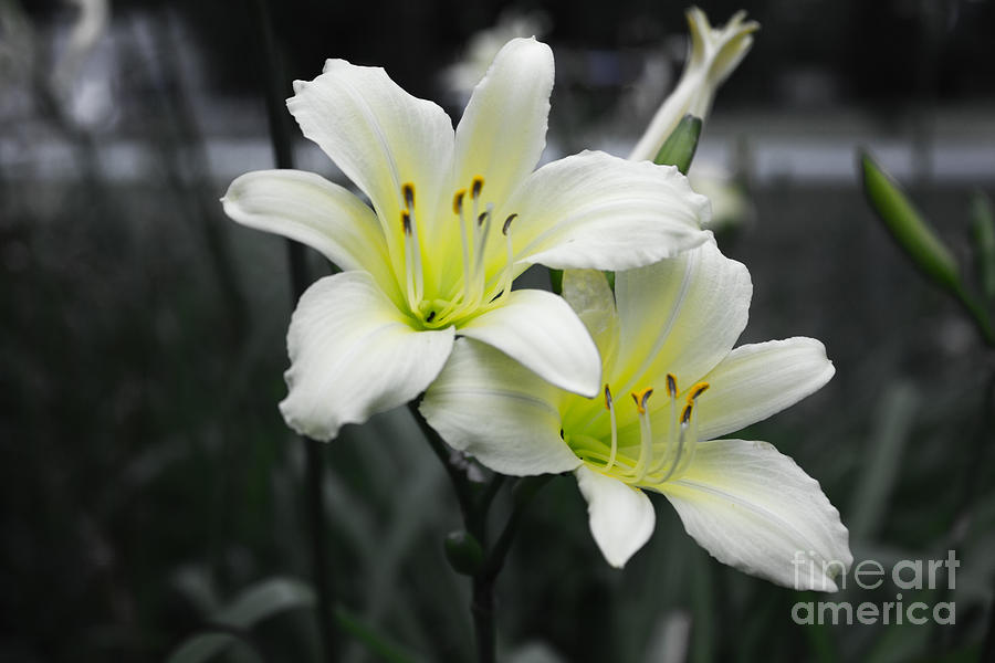 Peaceful Daylilies Photograph  - Peaceful Daylilies Fine Art Print