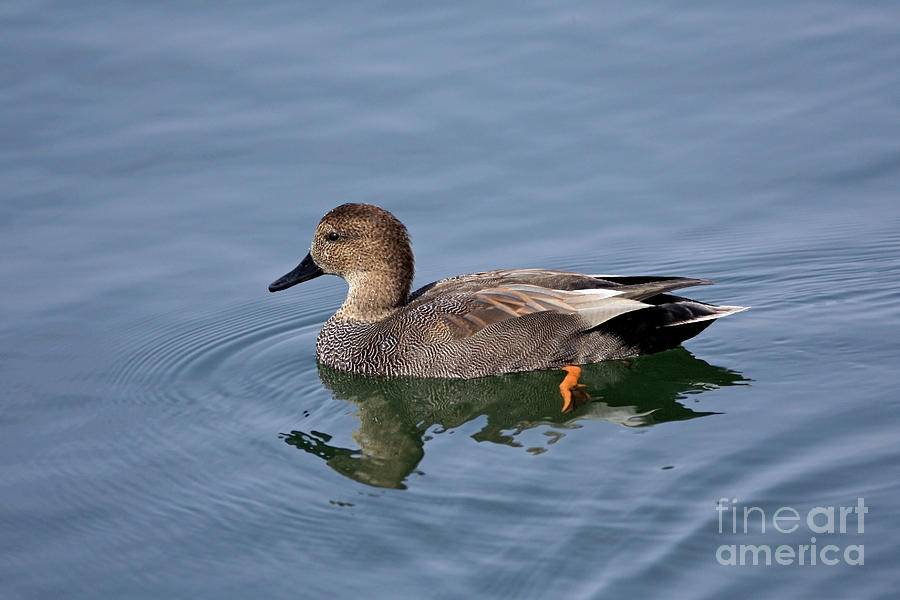 Bird Photograph - Peaceful Reflection- Female Gadwall Duck Swimming At ...