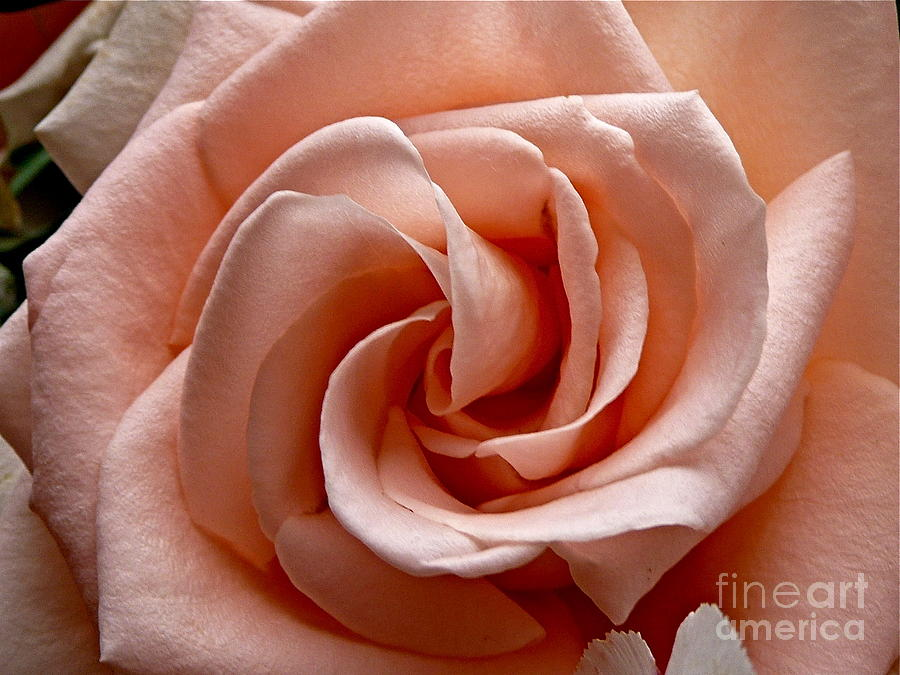 Peach-colored Rose Photograph