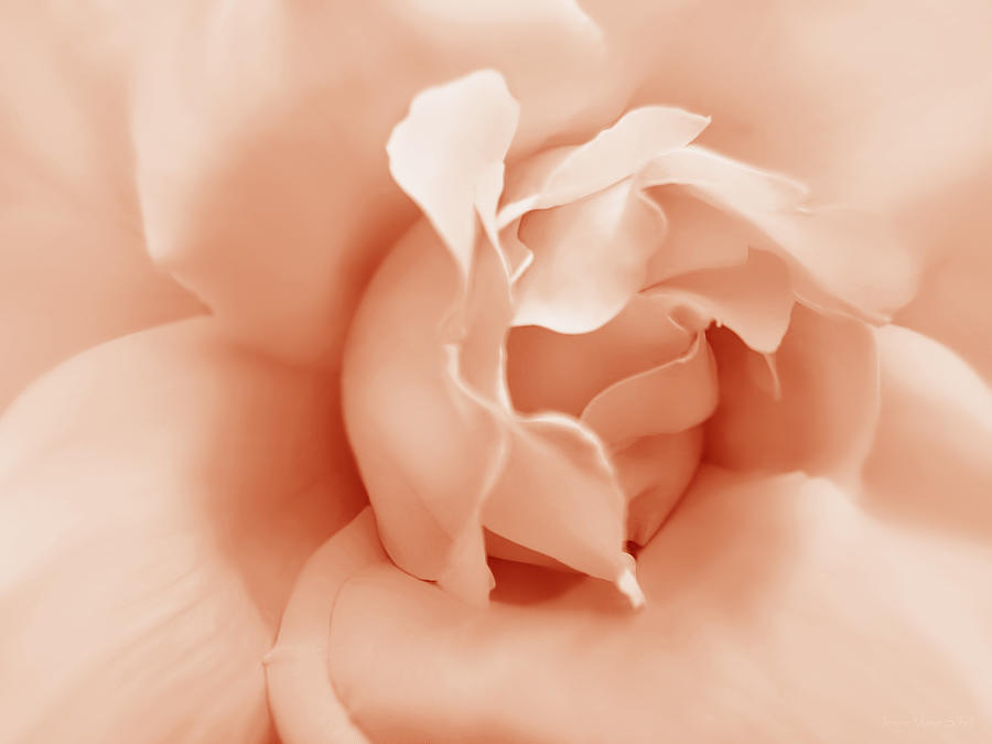 Peach Pastel Rose Flower Photograph  - Peach Pastel Rose Flower Fine Art Print