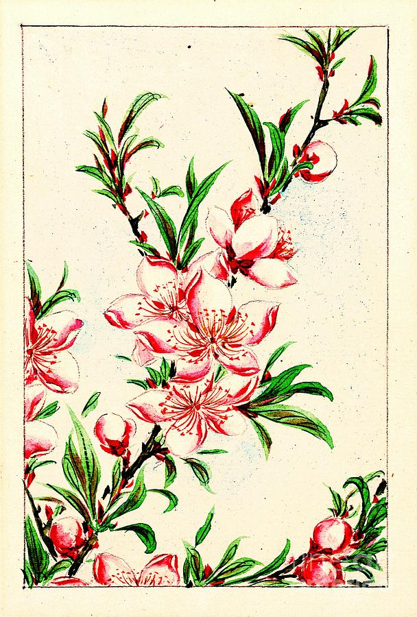 Peach Tree Blossoms 1870 Photograph by Padre Art