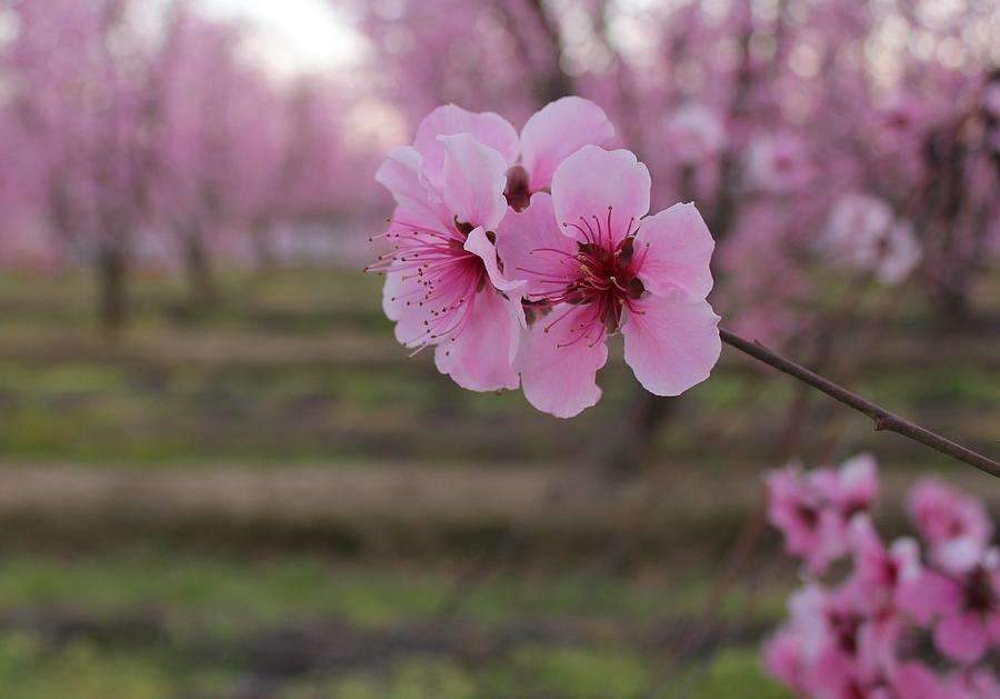 White Peach Tree Blossom | www.imgkid.com - The Image Kid ...