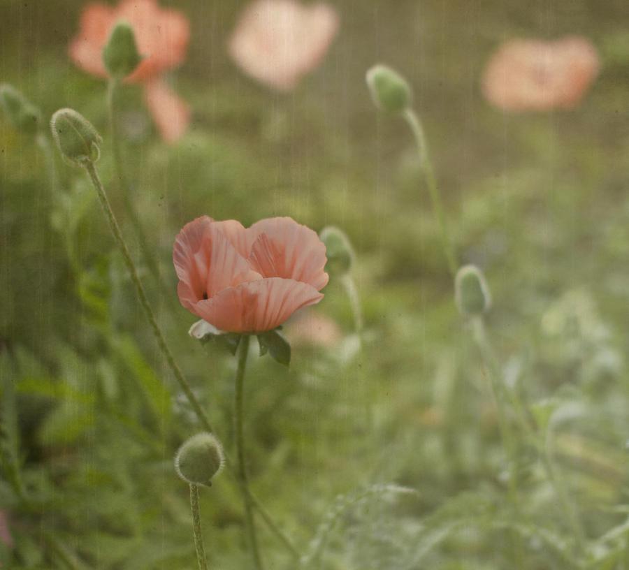 Peachy Poppies Photograph