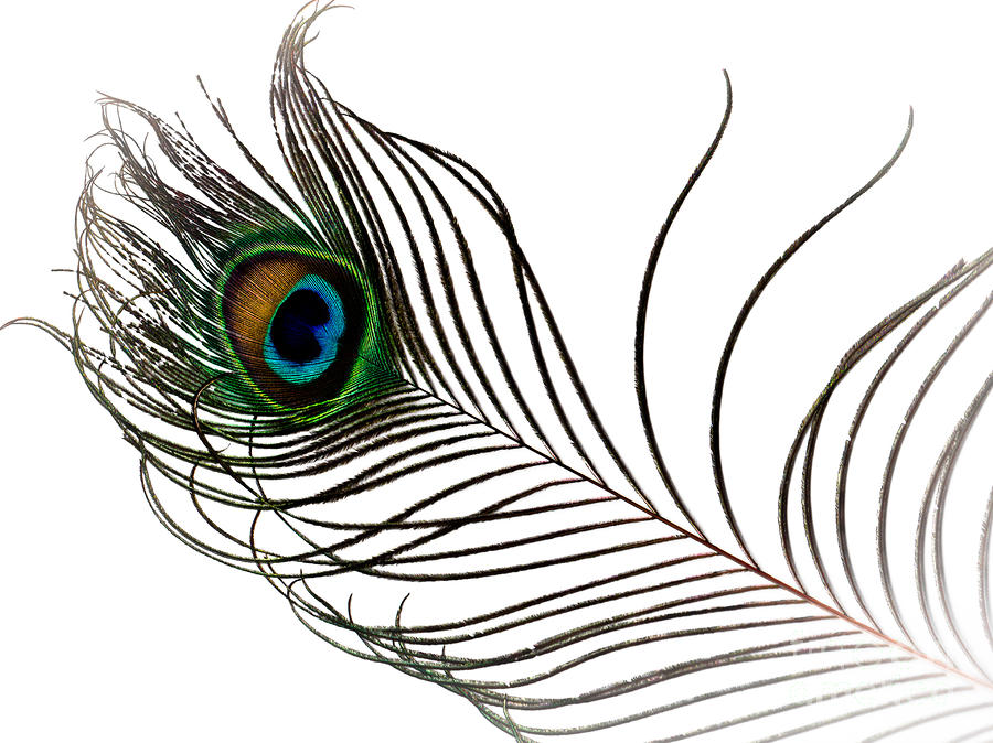 Peacock Photograph - Peacock Feather by FloorOne Photography
