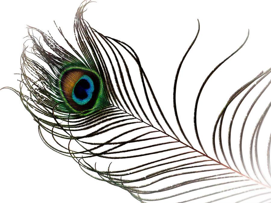 Single peacock feather