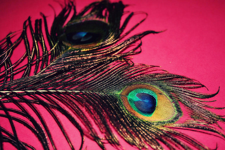 Pink peacock feather painting