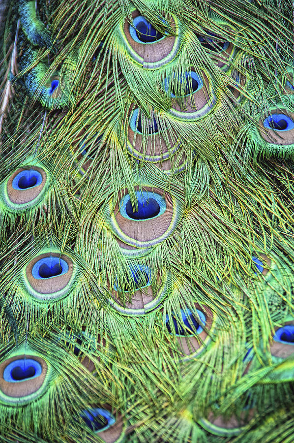 Bird Photograph - Peacock Feathers by Jen Morrison