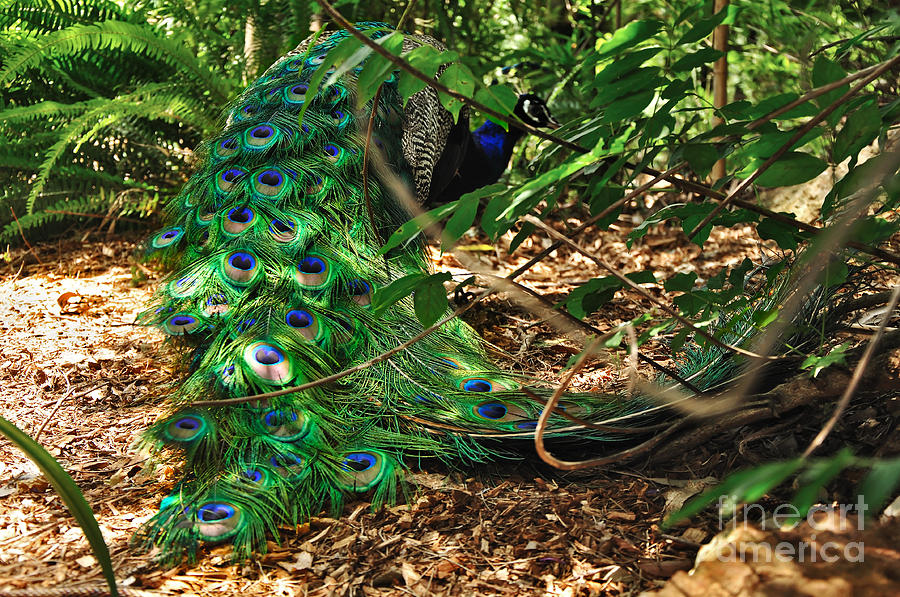 Peacock Hiding Photograph  - Peacock Hiding Fine Art Print