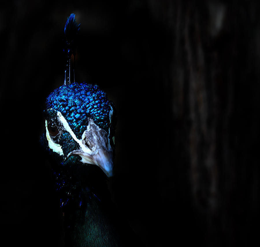 Peacock In The Dark Photograph  - Peacock In The Dark Fine Art Print
