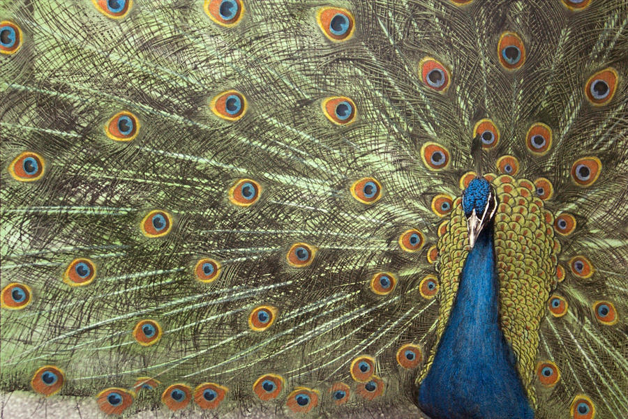 Peacock Photograph