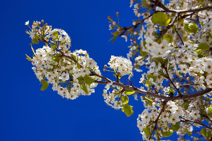 Pear Spring Photograph