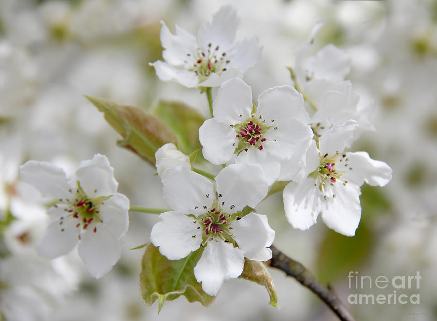 Pear Tree White Flower Blossoms Photograph  - Pear Tree White Flower Blossoms Fine Art Print