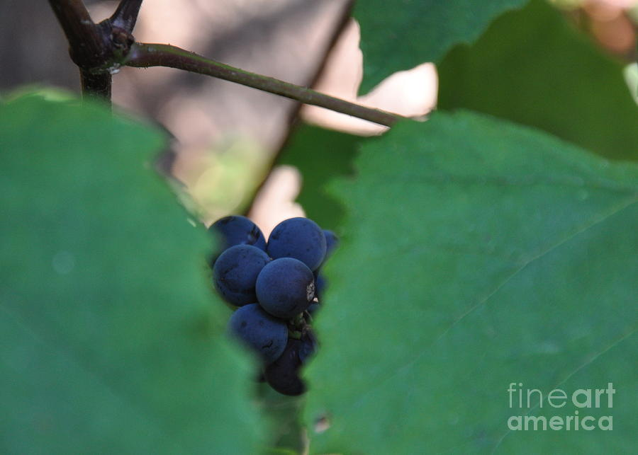 Peekaboo Grapes Photograph  - Peekaboo Grapes Fine Art Print