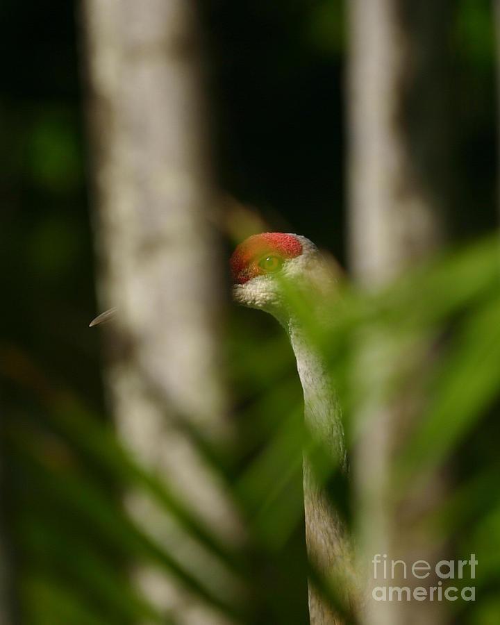 Bird Photograph - Peeping Crane by Matt Tilghman