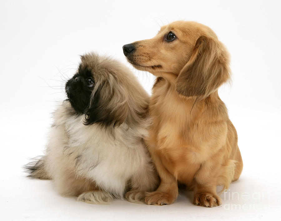 Pekingese And Dachshund Puppies Photograph