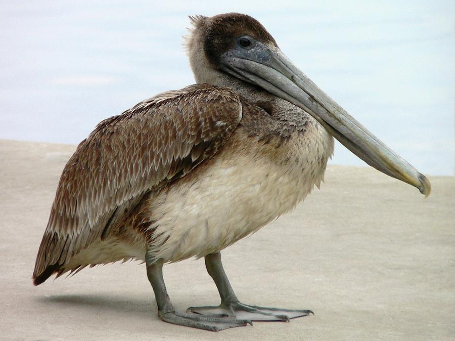 Pelican Close-up Photograph