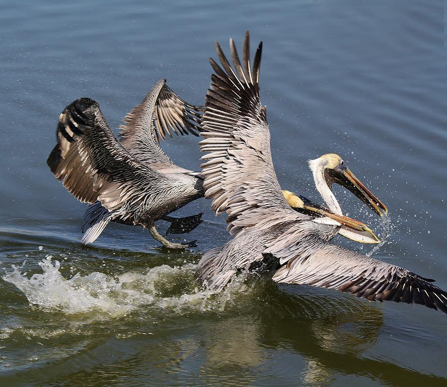 Pelican Photograph - Pelican Fight by Paulette Thomas