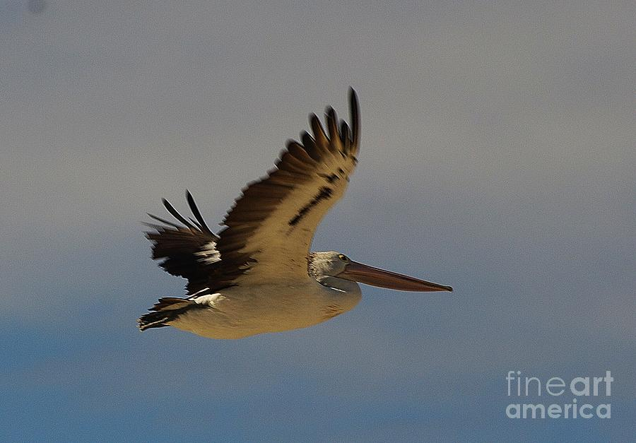 Pelican In Flight 5 Photograph  - Pelican In Flight 5 Fine Art Print