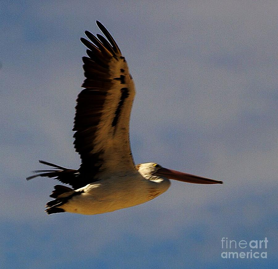 Pelican In Flight Photograph  - Pelican In Flight Fine Art Print