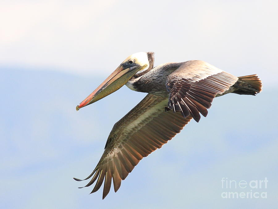 Pelican In The Sky Photograph