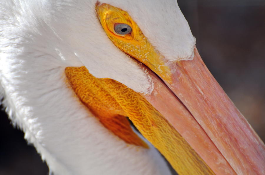 Pelican Twist Photograph