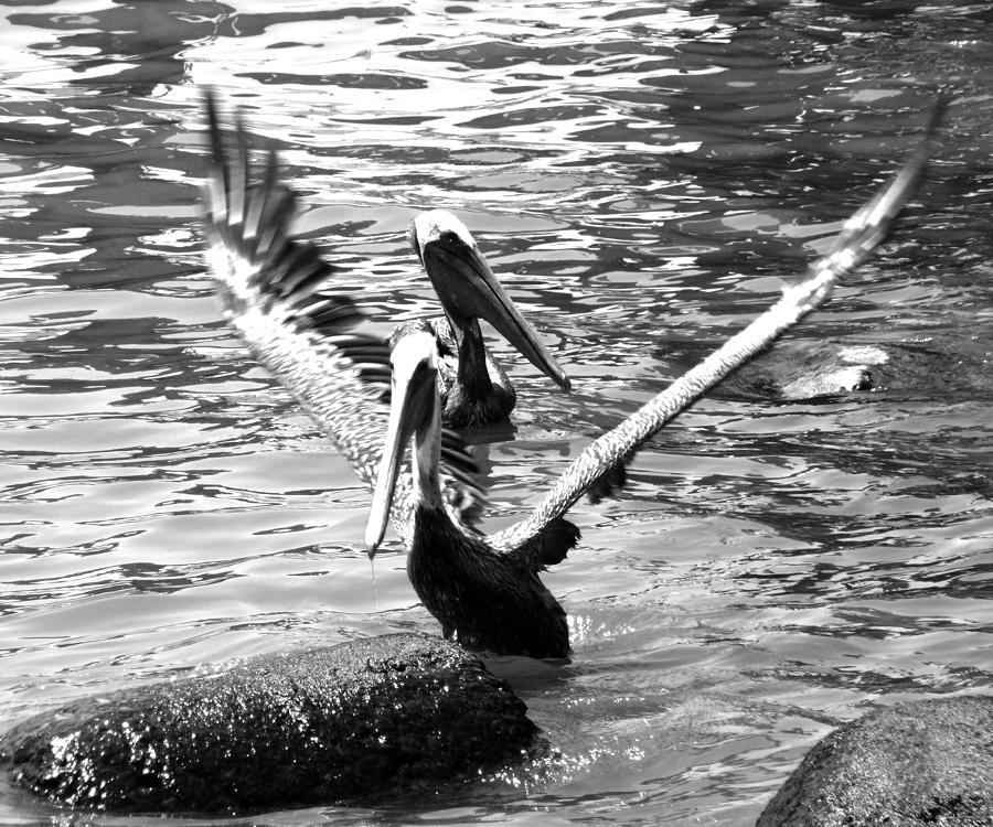 Pelicanos Photograph