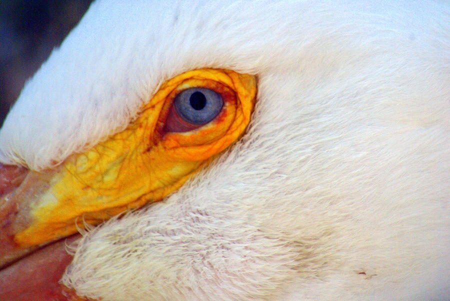 Pelicans Eye Photograph  - Pelicans Eye Fine Art Print