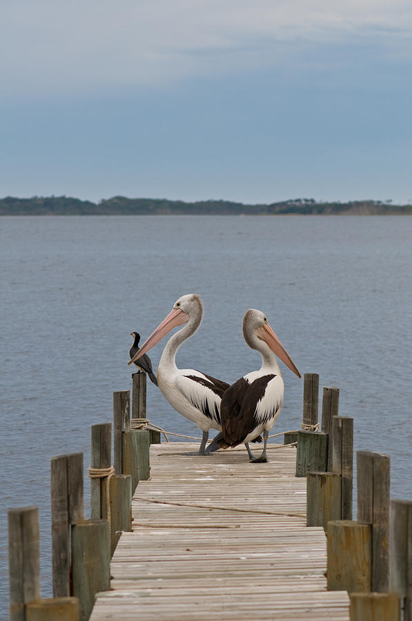 Pelicans On A Timber Landing Pier Mooring Photograph