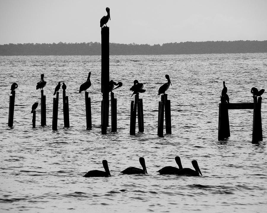 Pelicans On Posts Photograph  - Pelicans On Posts Fine Art Print