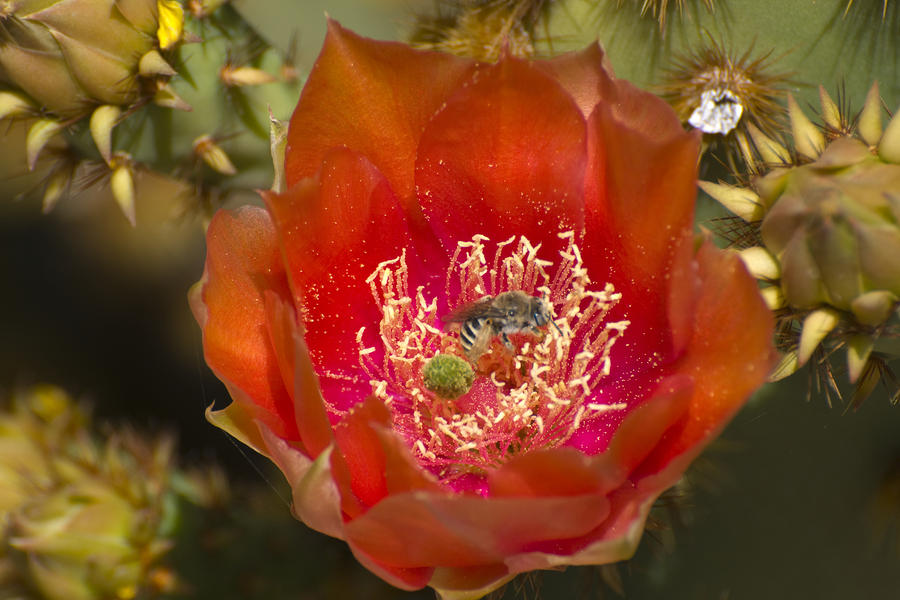 Pencil Cholla Flower With Bee Photograph  - Pencil Cholla Flower With Bee Fine Art Print