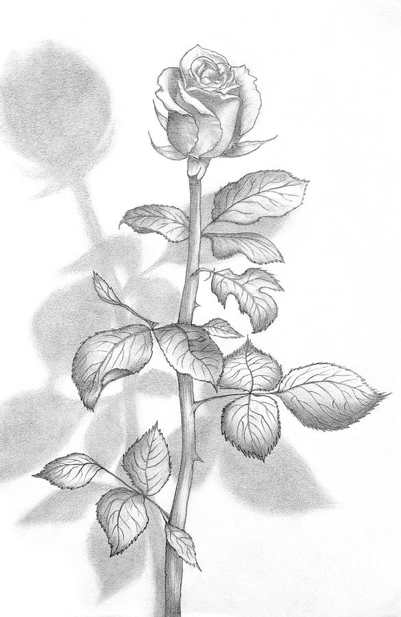 Pencil Drawing Of A Beautiful Rose Photograph  - Pencil Drawing Of A Beautiful Rose Fine Art Print