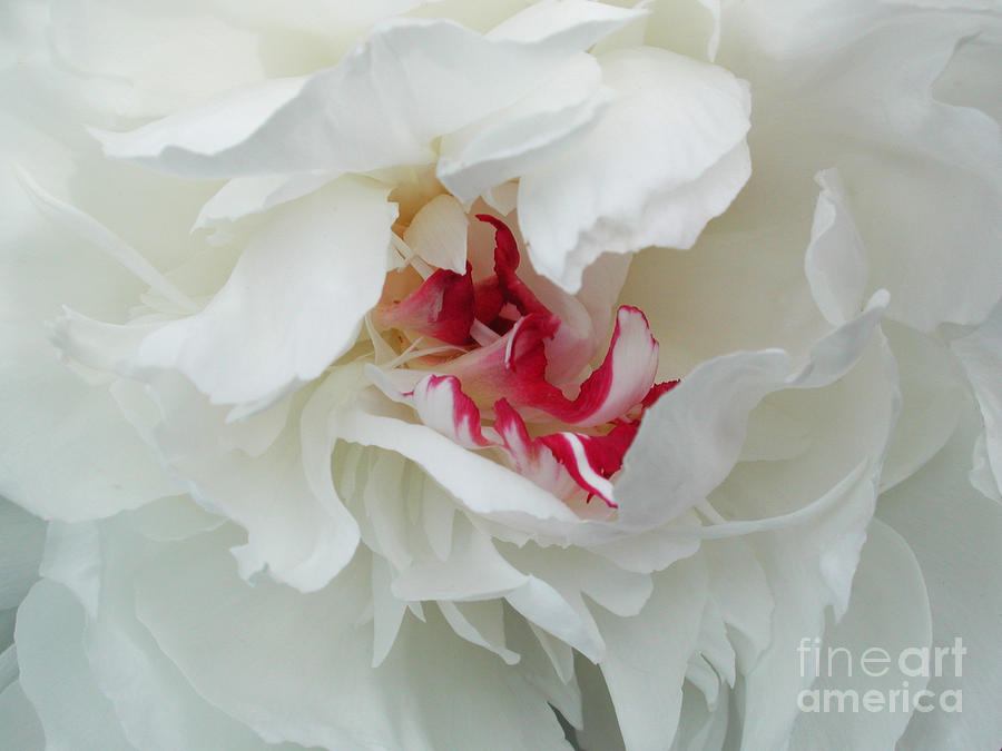 Peony Photograph  - Peony Fine Art Print