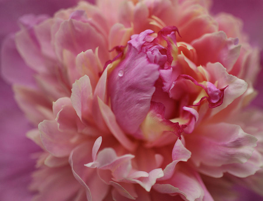 Peony Opening Photograph