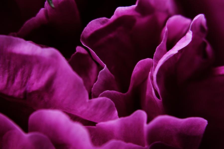 Flower Photograph - Peony Petals by Scott Hovind