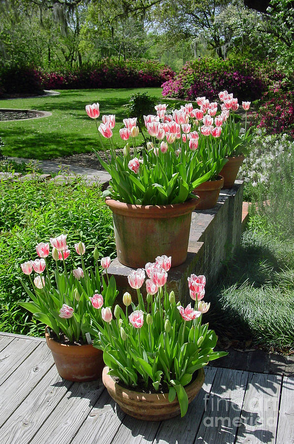 Peppermint Tulips In Springtime Photograph  - Peppermint Tulips In Springtime Fine Art Print