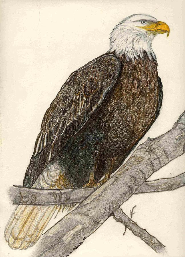 Perched Eagle Dr    Eagles Drawings Color