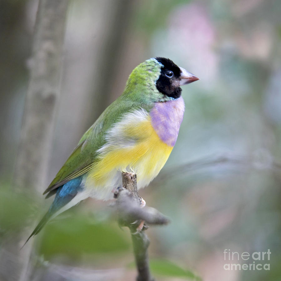 Perched Gouldian Finch Painting  - Perched Gouldian Finch Fine Art Print