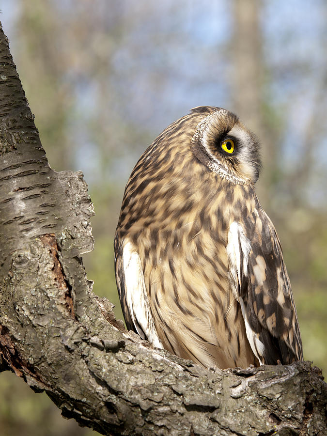 Perched Short Eared Owl Photograph  - Perched Short Eared Owl Fine Art Print