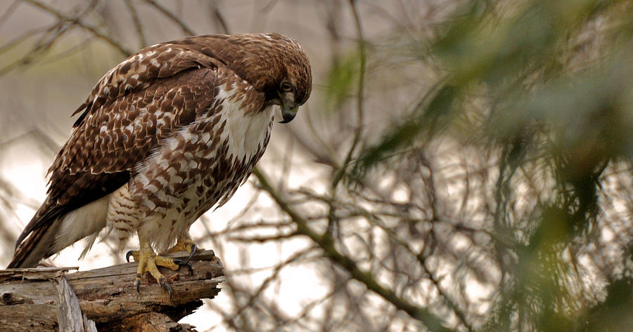 Perching Red Tail Hawk Photograph