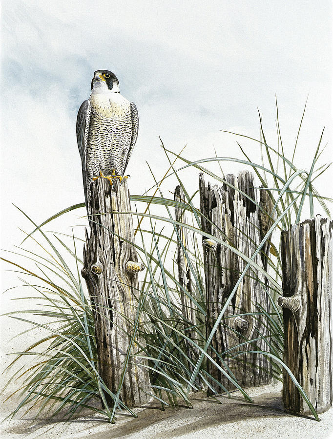 Peregrine Falcon On Post Painting