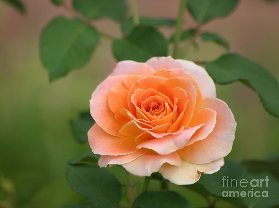 Perfect Peach Petals Photograph by Living Color Photography Lorraine ...