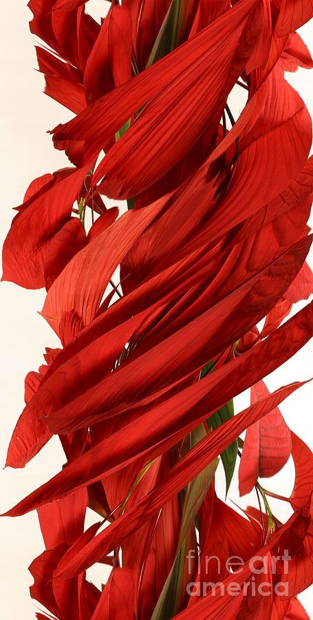 Peripheral Streak Image Of A Poinsettia Photograph