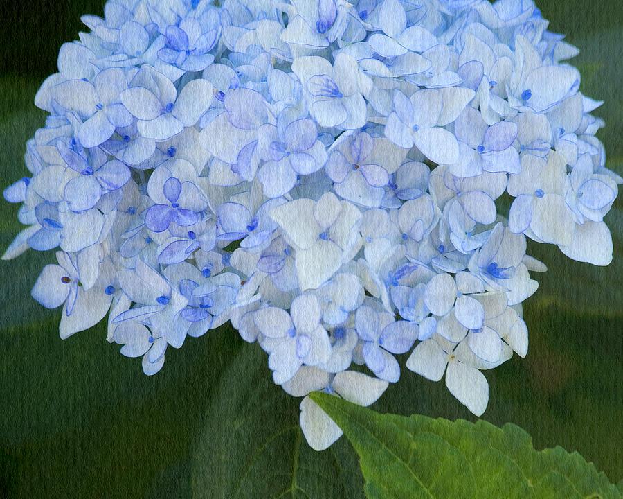 Periwinkle Blue Hydrangea Photograph