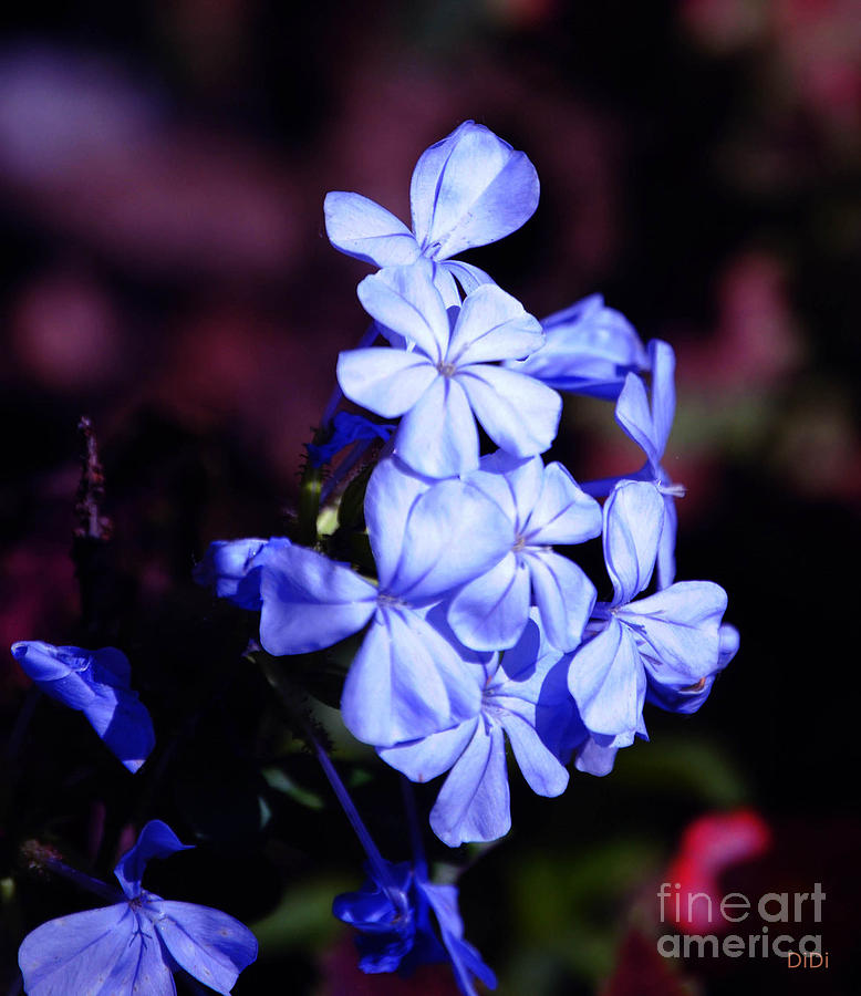 Periwinkles Photograph