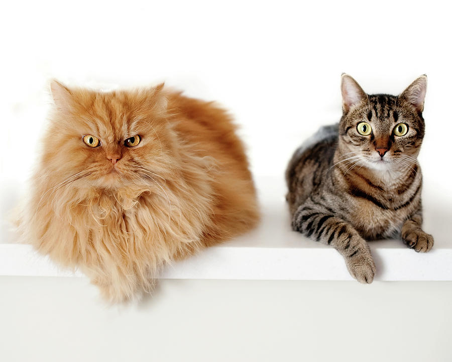 Persian Cat And Tabby Cat Together Photograph  - Persian Cat And Tabby Cat Together Fine Art Print