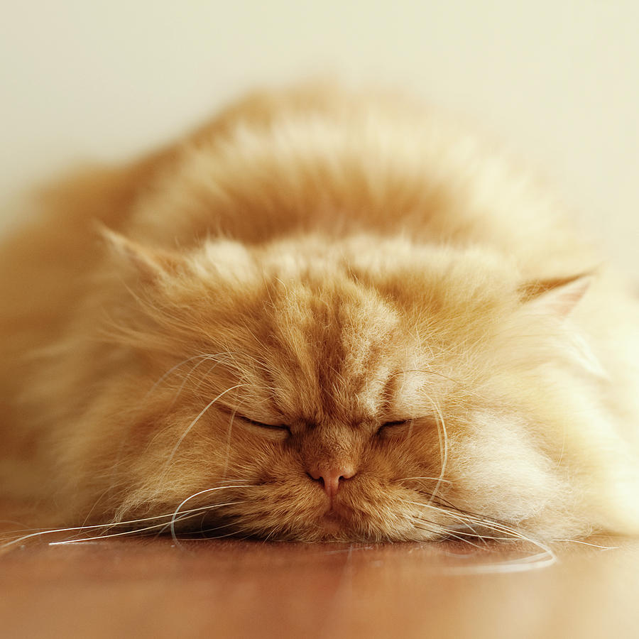 Persian Cat Sleeping Photograph